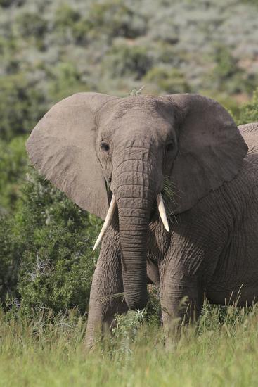 African Elephants 087-Bob Langrish-Photographic Print
