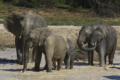 African Elephants 088-Bob Langrish-Photographic Print