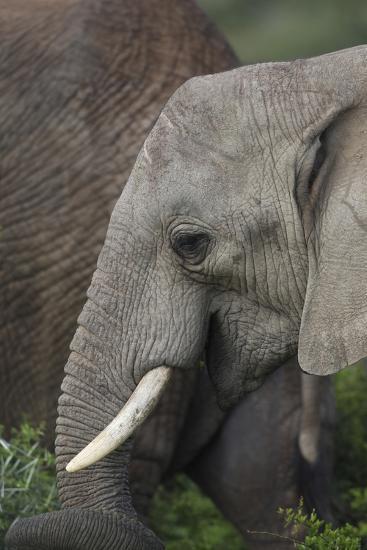 African Elephants 089-Bob Langrish-Photographic Print