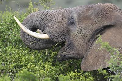 African Elephants 094-Bob Langrish-Photographic Print