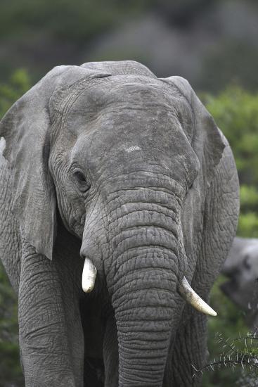 African Elephants 109-Bob Langrish-Photographic Print