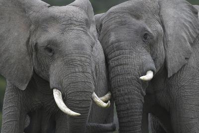 African Elephants 111-Bob Langrish-Photographic Print