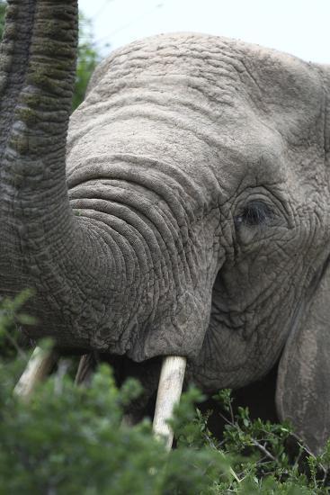 African Elephants 133-Bob Langrish-Photographic Print