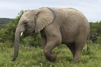 African Elephants 135-Bob Langrish-Photographic Print