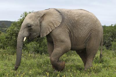 https://imgc.artprintimages.com/img/print/african-elephants-135_u-l-q12tz8a0.jpg?p=0