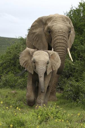 https://imgc.artprintimages.com/img/print/african-elephants-138_u-l-q12tz7d0.jpg?p=0