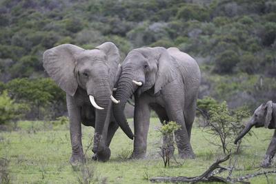 African Elephants 172-Bob Langrish-Photographic Print