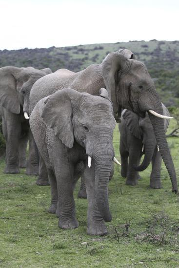 African Elephants 176-Bob Langrish-Photographic Print