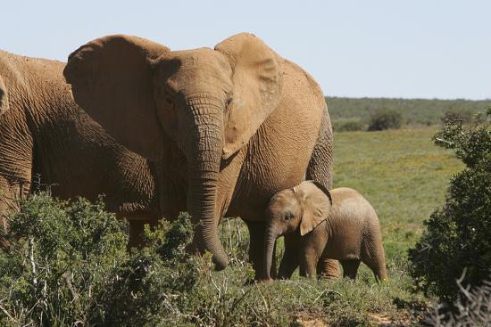 African Elephants 182-Bob Langrish-Photographic Print