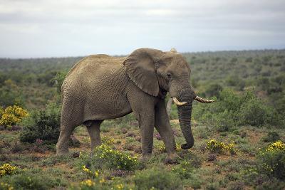 African Elephants 197-Bob Langrish-Photographic Print