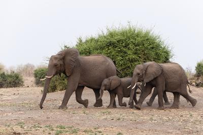 African Elephants and Calf-Sergio Pitamitz-Photographic Print
