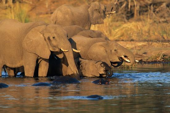 African Elephants Drinking at a Water Hole-Beverly Joubert-Photographic Print