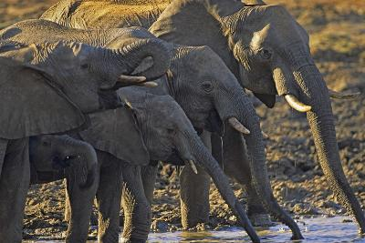 African Elephants Drinking from a Waterhole, Kenya, Africa-Tim Fitzharris-Photographic Print