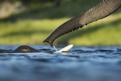 African Elephants in Chobe River, Chobe National Park, Botswana-Paul Souders-Photographic Print