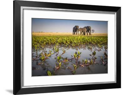 African Elephants in the Abu Concession Area in Botswana's Okavango Delta-Cory Richards-Framed Photographic Print