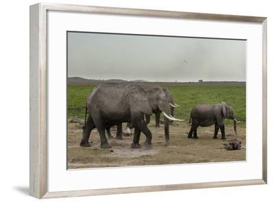 African Elephants (Loxodonta Africana), Amboseli National Park, Kenya, East Africa, Africa-Sergio Pitamitz-Framed Photographic Print