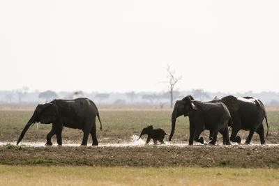 African Elephants, Loxodonta Africana, and a Calf Running Through Water-Sergio Pitamitz-Photographic Print