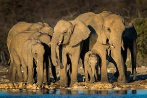 African Elephants (Loxodonta Africana) at Waterhole, Etosha National Park, Namibia