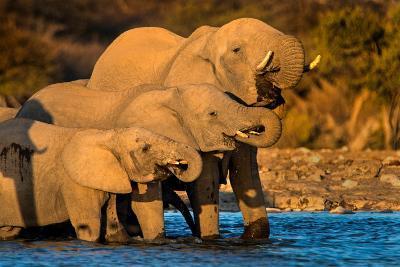 African Elephants (Loxodonta africana) at waterhole, Etosha National Park, Namibia--Photographic Print