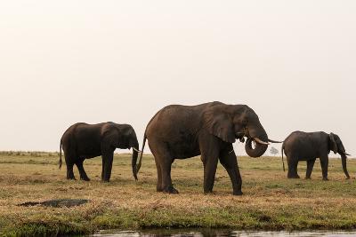 African Elephants (Loxodonta Africana), Chobe National Park, Botswana, Africa-Sergio Pitamitz-Photographic Print