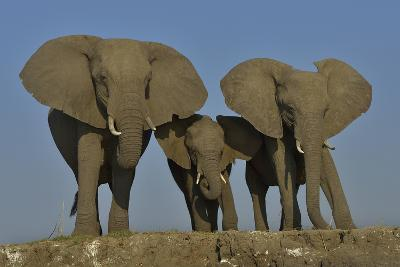 African Elephants (Loxodonta Africana) Cow With Her Two Calves, Chobe River, Botswana-Lou Coetzer-Photographic Print