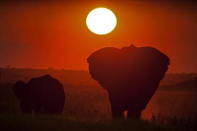 African Elephants, Loxodonta Africana, Grazing under the Setting Sun-Beverly Joubert-Photographic Print