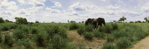 African Elephants (Loxodonta Africana) in a Field, Kruger National Park, South Africa