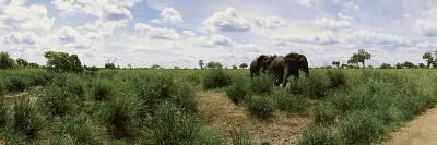 African Elephants (Loxodonta Africana) in a Field, Kruger National Park, South Africa--Photographic Print