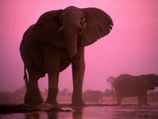 African elephants (Loxodonta africana)-Chris Johns-Photographic Print