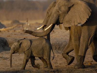 African Elephants, Makalolo Plains, Hwange National Park, Zimbabwe-Pete Oxford-Photographic Print