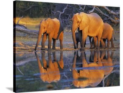 African elephants, Okavango, Botswana-Frank Krahmer-Stretched Canvas Print