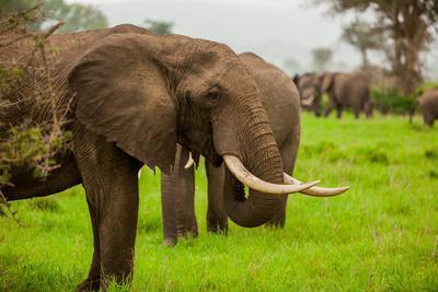 african elephants on safari, mizumi safari park, tanzania, eastafrican elephants on safari, mizumi safari park, tanzania, east africa, africa photographic print by laura grier art com