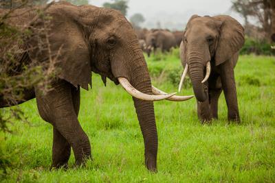 https://imgc.artprintimages.com/img/print/african-elephants-on-safari-mizumi-safari-park-tanzania-east-africa-africa_u-l-q12r1530.jpg?p=0