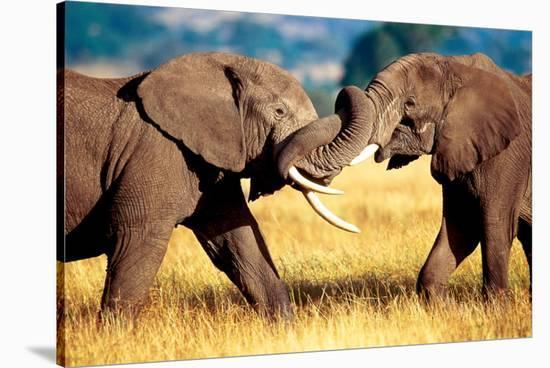 African Elephants Sparring--Stretched Canvas Print