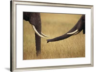 African Elephants Touching Trunks-DLILLC-Framed Photographic Print