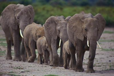 African Elephants Walking in Line-DLILLC-Photographic Print