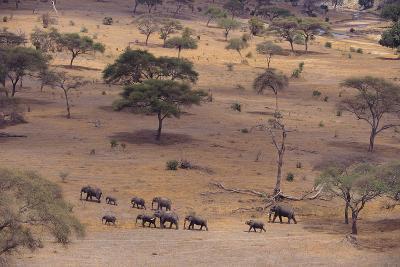 African Elephants Walking in Savanna-DLILLC-Photographic Print