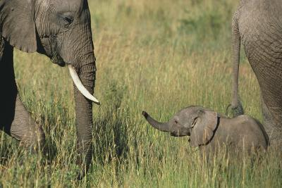 African Elephants with Calf-DLILLC-Photographic Print