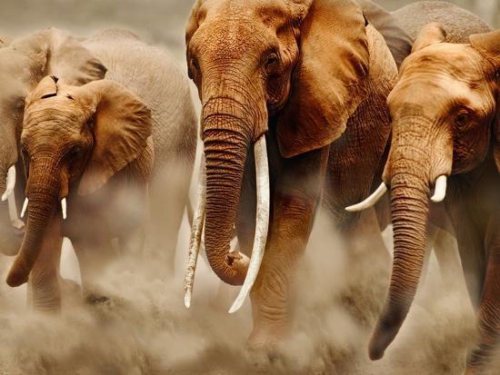 African Elephants-Martin Harvey-Photographic Print