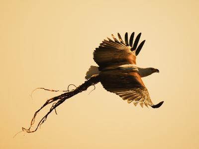 African Fish Eagle Carrying Nesting Material, Chobe National Park, Botswana May 2008-Tony Heald-Photographic Print