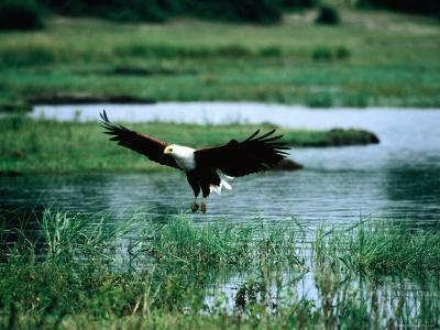 African Fish Eagle Coming in to Land, South Africa-Mark Newman-Photographic Print