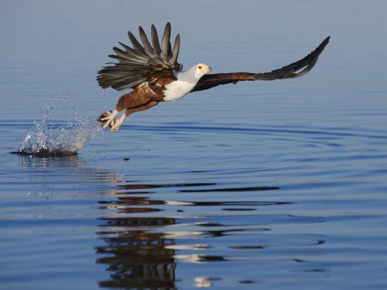 African Fish Eagle Fishing, Chobe National Park, Botswana-Tony Heald-Photographic Print