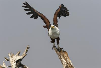 African Fish Eagle (Haliaeetus Vocifer), Chobe National Park, Botswana, Africa-Ann & Steve Toon-Photographic Print