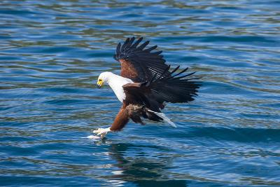 African Fish Eagle (Haliaeetus Vocifer) Hunting Fish, Cape Maclear, Lake Malawi, Malawi, Africa-Michael Runkel-Photographic Print