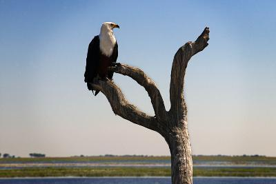 African Fish Eagle (Haliaeetus Vocifer) in Chobe National Park, Botswana--Photographic Print