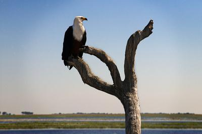 https://imgc.artprintimages.com/img/print/african-fish-eagle-haliaeetus-vocifer-in-chobe-national-park-botswana_u-l-pv8rra0.jpg?p=0