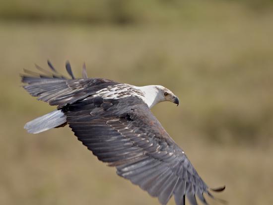 African Fish Eagle (Haliaeetus Vocifer) in Flight, Serengeti National Park, Tanzania, East Africa, -James Hager-Photographic Print