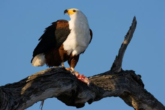 African Fish Eagle; Haliaeetus Vocifer; South Africa-Johan Swanepoel-Photographic Print