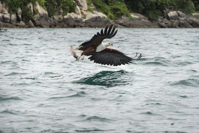 https://imgc.artprintimages.com/img/print/african-fish-eagle-haliaeetus-vocoder-bird-of-prey-malawi-africa_u-l-pwfs4c0.jpg?p=0