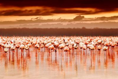 African Flamingos in the Lake over Beautiful Sunset-Anna Omelchenko-Photographic Print